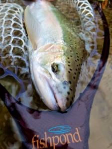 A Great Lakes Migratory Steelhead in a Fishpond Landing Net ...