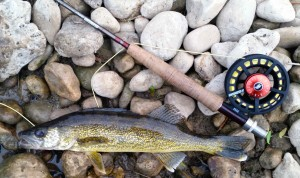Upper Grand River Walleye on the Fly Rod Sage Vantage and 2250 Fly Reel AA