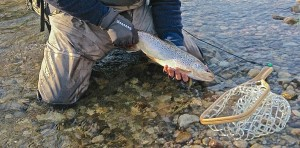 Whitemans Creek Natural Brown Trout on a Streamer Springbrook Solitude Rubber Net A