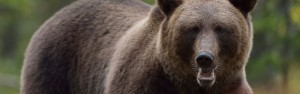 Sabre Wild bear-header_0