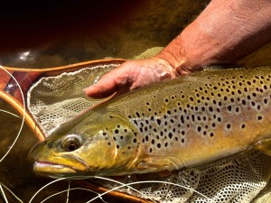 Brown Trout Grand River Dry Fly Fishing AAAA