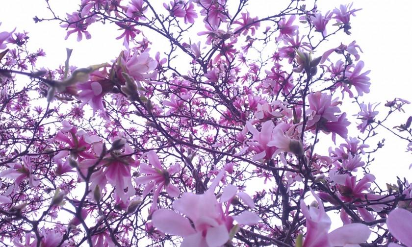 Pink magnolia | https://juliesaffrin.com
