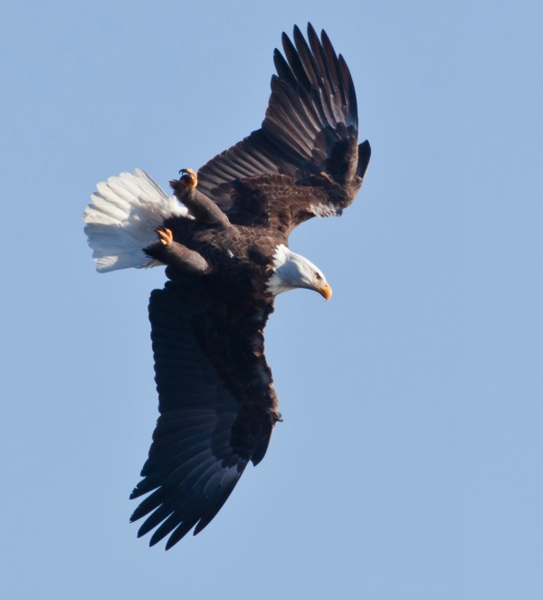 Bald eagle flying loop-the-loop   https://juliesaffrin.com