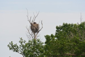 eagle feeding her baby | https://juliesaffrin.com