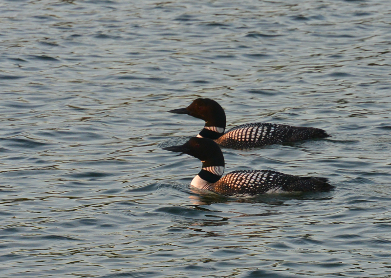 Loons in Tombs Bay