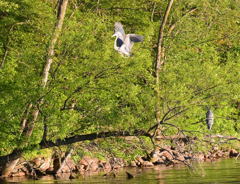 Two Blue Herons in a tree | https://juliesaffrin.com
