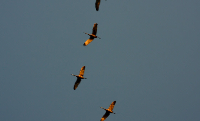Sandhill Cranes flying over us as we watched the loon parents | https://juliesaffrin.com