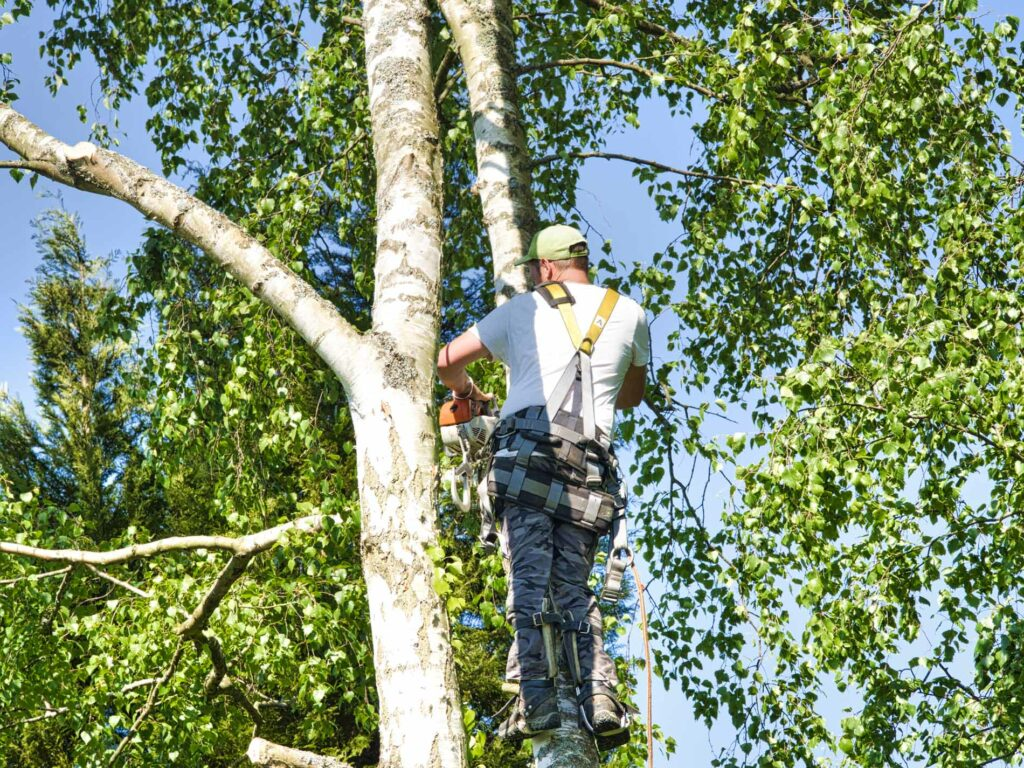 Photo of professional arborist trimming tree