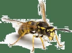 Wasp in Kansas City