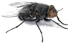 Flies in Kansas City