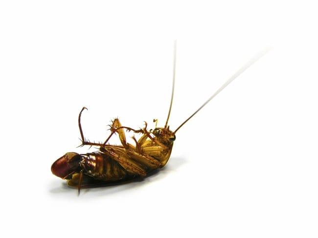 Roaches in Kansas City