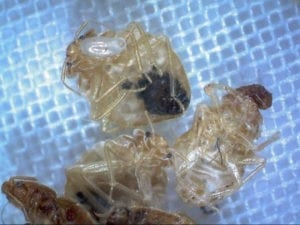 bed bug nymphs with egg