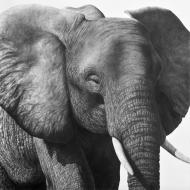 David Bjurstrom: African Elephant