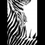 Jerry Hogrewe: Zebra