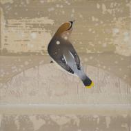 Diana Stetson: Waxwing on Snowy Mountain