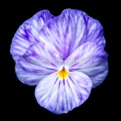Sneezy-Purplecup-051118-3419-2