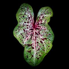 Leaf-3-Speckles-053118-5570