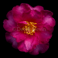 Buttercup-Muffin-Plum-Blossom-Woman-111117-0123