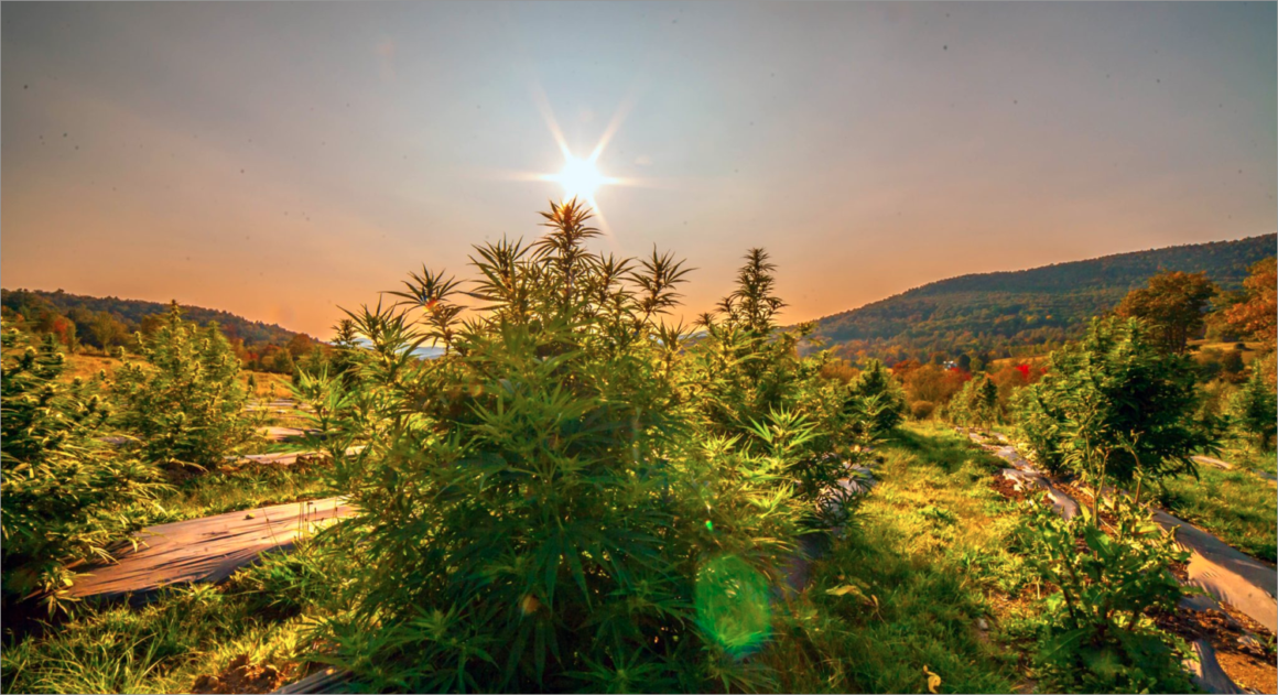 What Is Hemp Flower and Why Should Baby Boomers Care?
