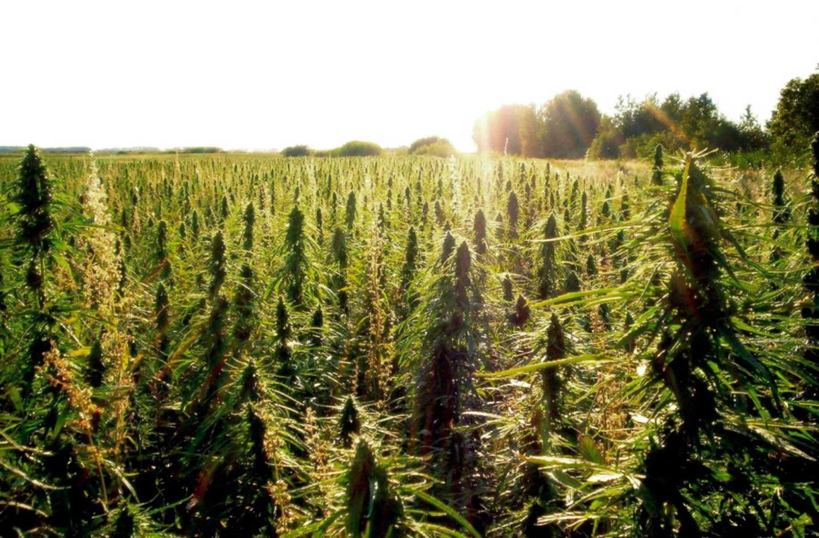 Hemp Wars | Congress vs. the DEA & the 2018 Omnibus Bill