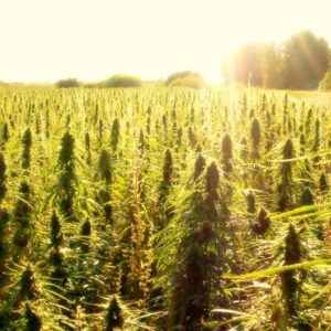 History of Hemp: 80 Years of Purgatory