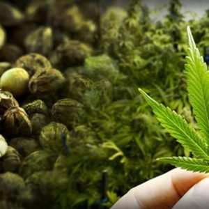 CANNABIGEROL: LOADS OF HEALTH BENEFITS