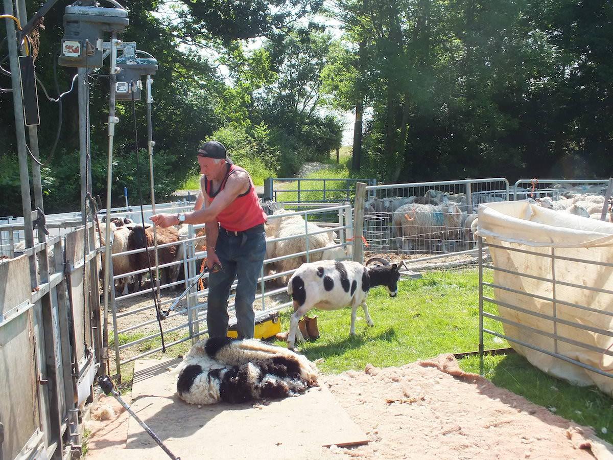 sheep shearing jacobs