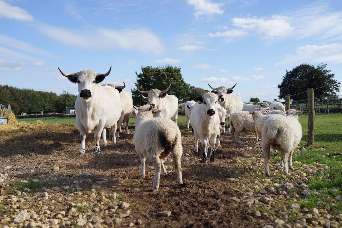 Park Cattle at Adam Henson's Cotswold Farm Park