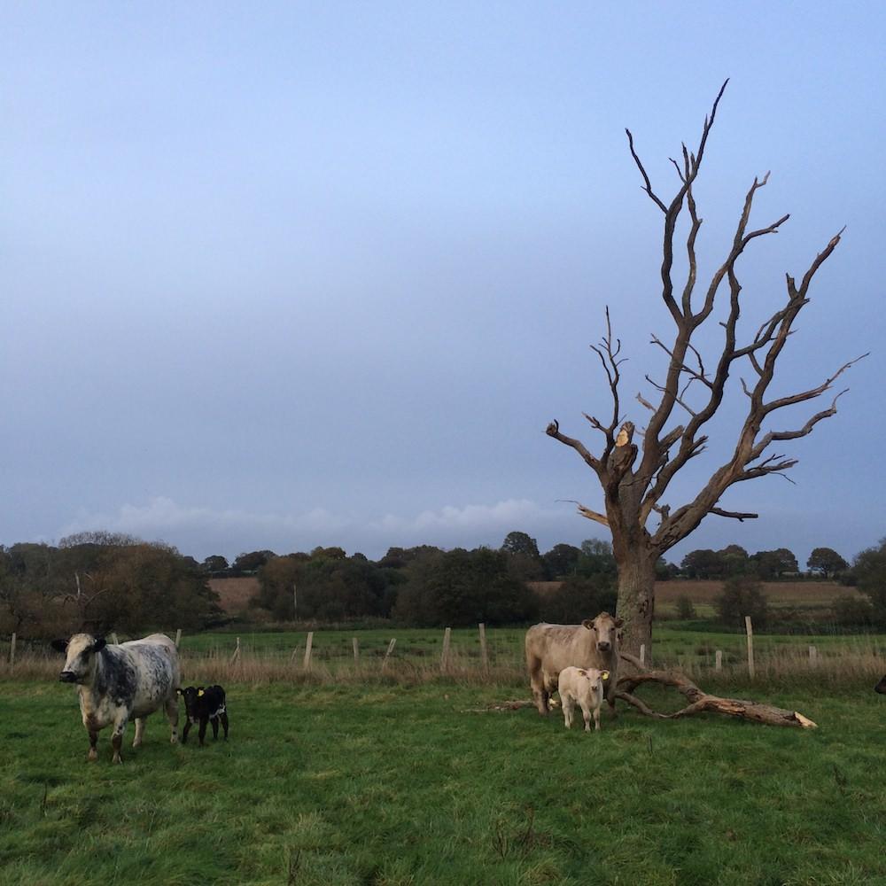 cowsandcalves