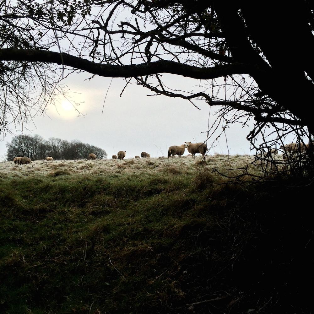 sheepbrowings