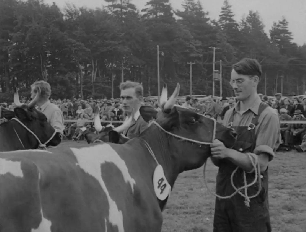 Aryshire_Cow