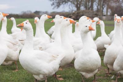Cracknell's Farm Free Range Geese