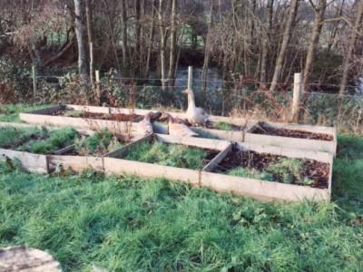 Geese in the Kitchen Garden