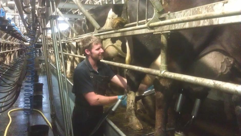 Herdsman Luke in the milking parlour