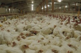 poultry farm antibiotics
