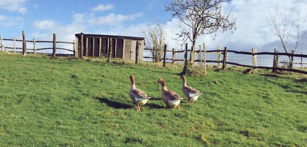 The three geese-keteers