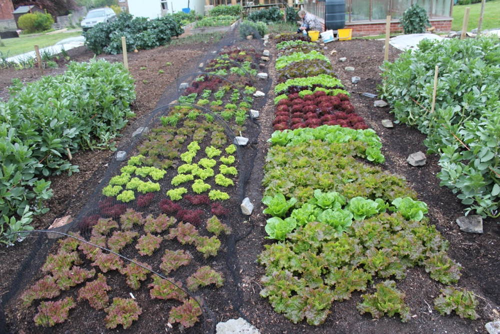 Indie lettuce may152 before pick