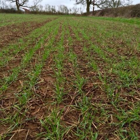 dd wheat (1)