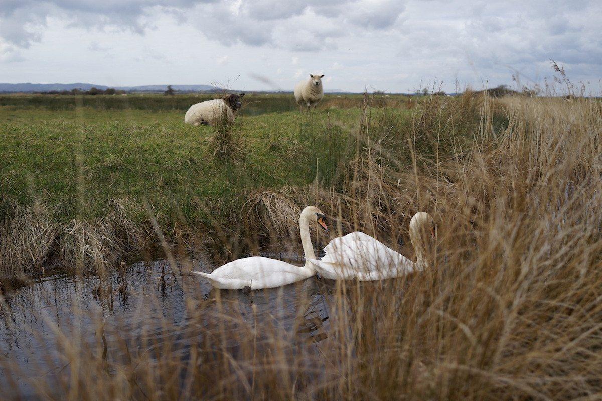 Swans on Pevensey Marsh Sussex Wildlife Land