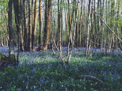 The Bluebell Wood in full bloom!
