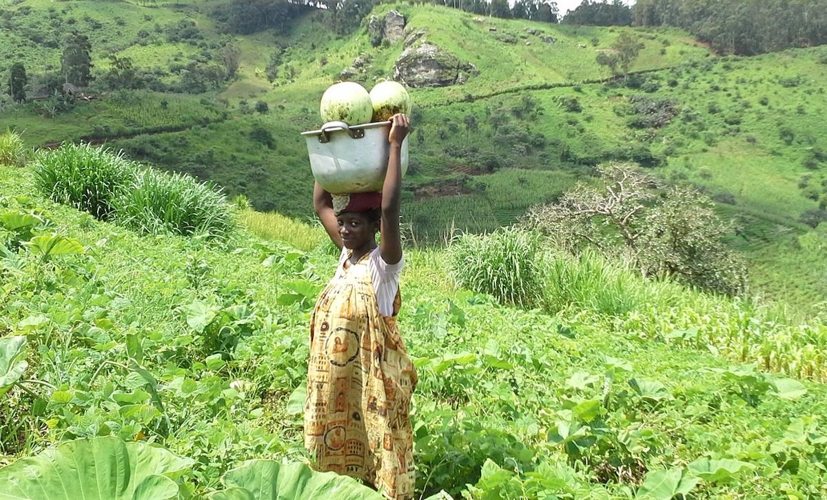 A woman farmer harvesting organic water melon from Bio demonstration farm
