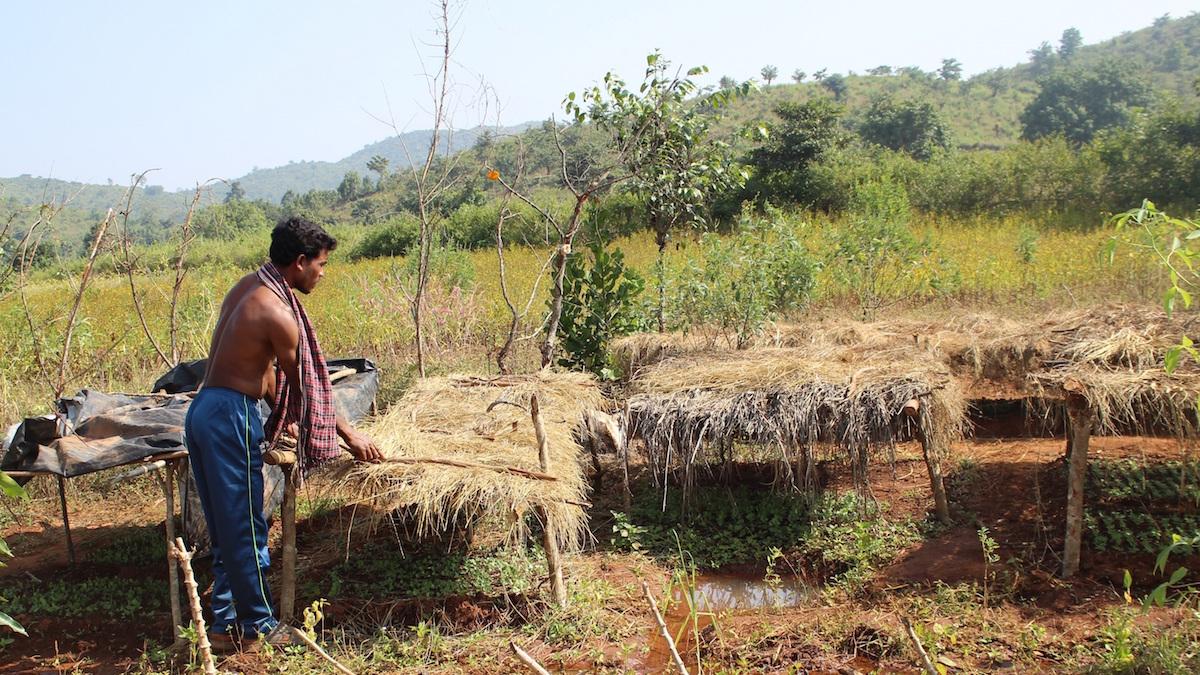 Buda Majhi checking his vegetable nursery beds