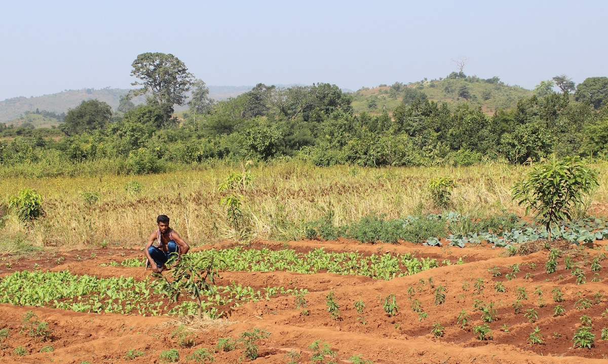 Buda Majhi working in his farmland intercropped and mixed-cropped with vegetables, pulses, millets and orchards