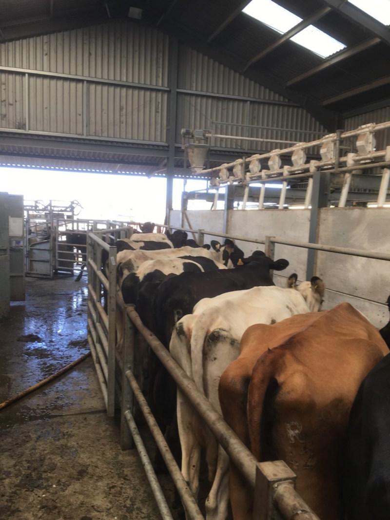 cows1 2