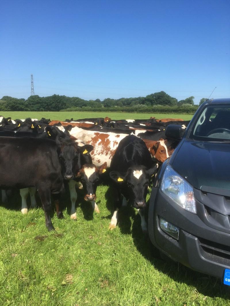 cows2 2