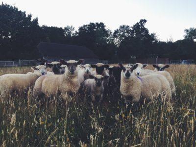 The Lamb Gang