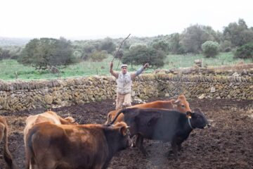 Native Mallorcan Cattle