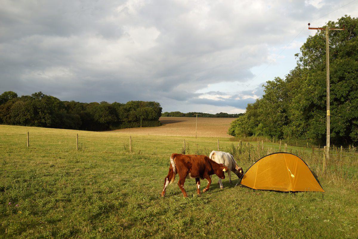 curious shorthorn calves