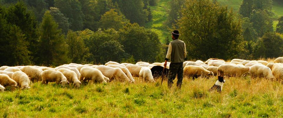 Shepherd – by Paul Giblerston