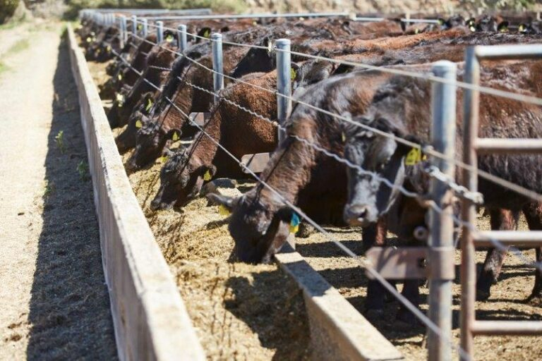 Cattle eating from trough at feedlot